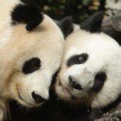 Panda-Pärchen bleibt in Schönbrunn