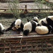 Panda-Aufzucht in China