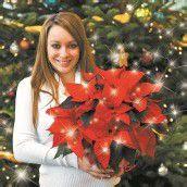 Weihnachtsstern zum halben Preis
