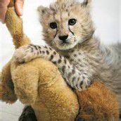 Gepards Liebling