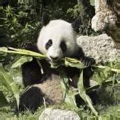 Goldmedaille für Panda Fu Long