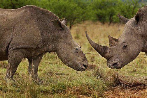 Die Jagd auf Nashörner ist lukrativ: In Pulverform bringt das Horn 50.000 Euro pro Kilo. Angeblich soll es Krebs heilen und die Potenz erhöhen.