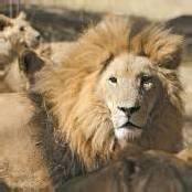Afrikanische Löwen sind vom Aussterben bedroht