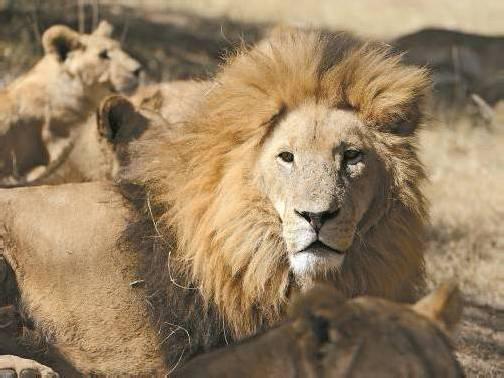 Die Löwen werden gezüchtet, um Touristen anzulocken – danach werden sie zum Abschuss freigegeben. Foto: dapd