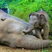 Borneo: Rätsel um zehn tote Zwergelefanten