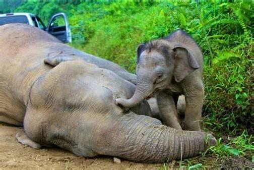 Ein junger Zwergelefant versucht, seine tote Mutter zu wecken. Foto: REUTERS