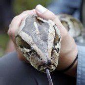 Schlangenplage: Florida macht Jagd auf Pythons