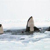 Schwertwale sind frei