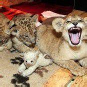 Unzertrennliche Löwenbabys