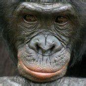 Bonobos teilen mit Fremden