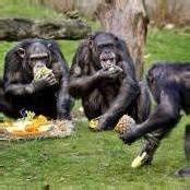 Was Affen sozial macht