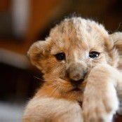 Süßer Löwennachwuchs