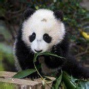 Knuddeliger Panda-Nachwuchs