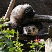 Turnstunde mit Panda Xiao Liwi