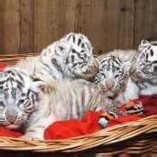 Erstmals weiße Tiger-Vierlinge in Österreich