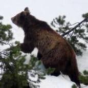 Bär erlegt: Der Abschuss wurde unausweichlich