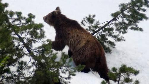 Der Braunbär M13 hat seine Nahrung immer häufiger in bewohnten Gebieten gesucht. Foto: epa