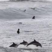 Australien: Junger Delfin rettet 150 Artgenossen