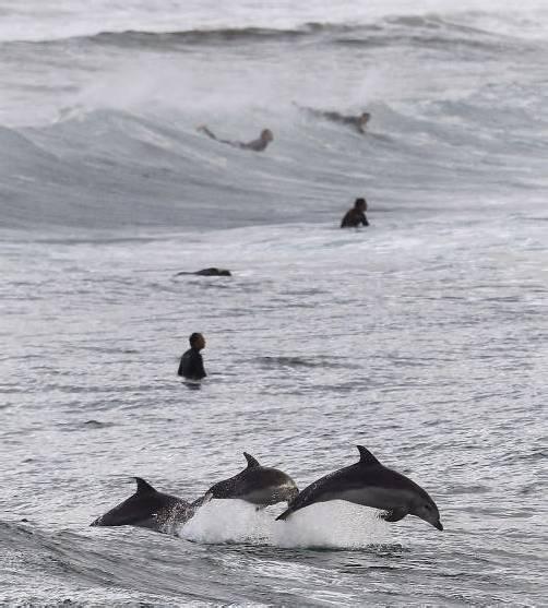 Ein Delfin-Junges führte seine Artgenossen erfolgreich zurück ins offene Meer. foto: Symbolbild/Reuters