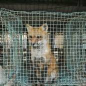 Vorarlberg soll Tierpelz-frei werden