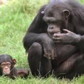 Tierschützer fordern für Affen Menschenrechte