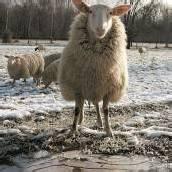Was für eine Schafskälte!