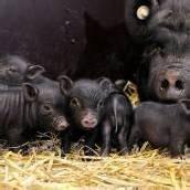Vietnamesische Hängebauchschweine