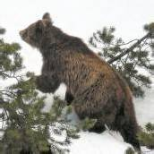 Dritter Bär tot Bär M13 in der Schweiz erlegt /d8