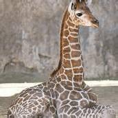 Giraffennachwuchs in Chile