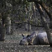 Wilderer töteten 13 Nashörner