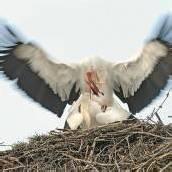 Zugvögel als Frühlingsboten: Die ersten Störche sind zurückgekehrt