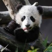 Panda-Baby Xiao Liwi