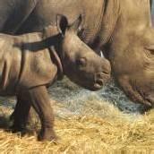 Nashorn-Baby im Serengeti-Park