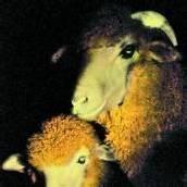Genforscher haben ein leuchtendes Schaf kreiert