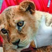 Vier Pfoten übersiedelt Großkatzen aus Rumänien