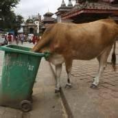 Polizei in Nepal geht gegen heilige Kühe vor
