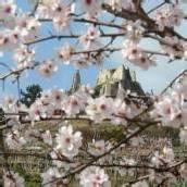 Wachauer Marillenblüte steht bevor