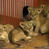 Kleine Löwen zeigen sich erstmals