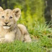 Südafrikanischer Name für Löwenbaby