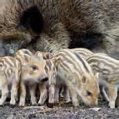 Nachwuchs bei Familie Wildschwein