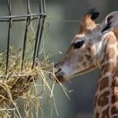 Giraffen-Nachwuchs