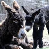 Nachwuchs bei den Poitou-Eseln