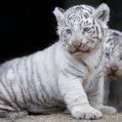Weiße Tigerbabys