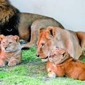 Löwenfamilie genießt ihr neues Zuhause