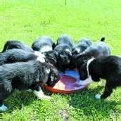 Gleich beim ersten Wurf brachte eine Hündin in Au acht Border Collies zur Welt