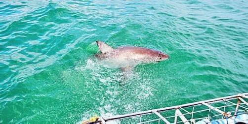 Auge in Auge mit dem Weißen Hai vor der Küste von Hermanus.