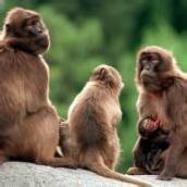 Wer herrscht denn da im Affen-Harem?