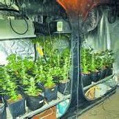 56 Hanfpflanzen sichergestellt