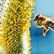 EU beschränkt Bienen-Pestizide