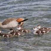 Nachwuchs bei Nilgänsen am Baggersee
